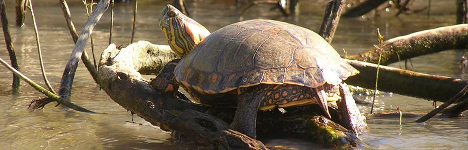 Em Belém tem... tartarugas Tigre-dágua