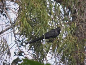 Anu-preto (Crotophaga ani Linnaeus)