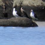 Gaivotão (Larus dominicanus) e Biguás (Phalacrocorax brasilianus)